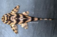 foto 4: Ancistomus wernekei/Peckoltia wernekei (L243 / LDA 86)