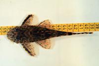 foto 7: Ancistomus wernekei/Peckoltia wernekei (L243 / LDA 86)