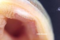 Bild 20: Ancistomus/Peckoltia wernekei (L243 / LDA 86)