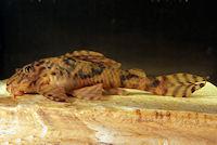 Bild 13: Ancistomus/Peckoltia wernekei (L243 / LDA 86)
