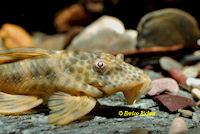 "Bild 3: Ancistomus sp./Peckoltia sp. ""L387"""