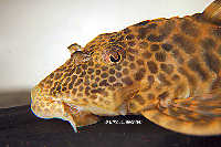 "Bild 10: Ancistomus sp./Peckoltia sp. ""L387"""