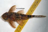 "Bild 7: Ancistomus sp./Peckoltia sp. ""L387"""