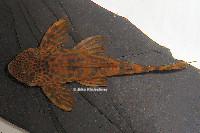 "Bild 5: Ancistomus sp./Peckoltia sp. ""L387"""