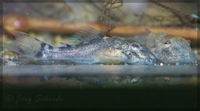 """foto 16: Ancistomus sp. """"L 387"""" ~11 Tage"""