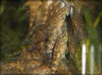 "Bild 17: Ancistomus sp. ""L 387"" ~28 Tage"