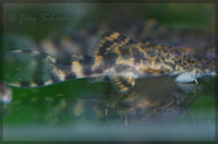"""foto 19: Ancistomus sp. """"L 387"""" ~45 Tage"""