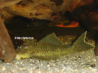 Pic. 3: Ancistomus snethlageae (L 141)