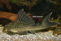 Pic. 6: Ancistomus snethlageae (L 141)