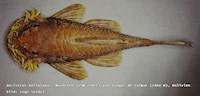 Ancistrus bolivianus