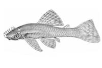Bild 4: Ancistrus brevifilis