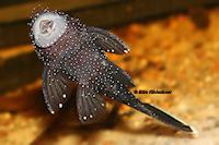 Bild 9: Ancistrus dolichopterus (L183)