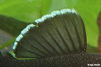 Bild 3: Ancistrus dolichopterus (L183)