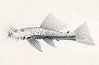 Bild 13: Ancistrus dolichopterus - Type
