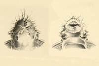 Bild 14: Ancistrus dolichopterus - Type