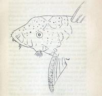 Bild 15: Hypostoma punctatum - Type - Synonym zu Ancistrus dolichopterus