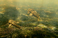 Bild 4: Ancistrus cf. dubius vom Arroyo Piribebuy (Paraguay), Chololo - 25°33