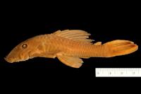 Ancistrus dubius = Ancistrus cirrhosus subsp. dubius, Holotype, lateral