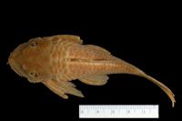 Bild 3: Ancistrus dubius = Ancistrus cirrhosus subsp. dubius, Holotype, dorsal