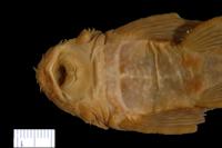 Bild 5: Ancistrus dubius = Ancistrus cirrhosus subsp. dubius, Holotype