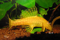 "Ancistrus sp. ""Gold II"""