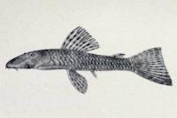 Bild 5: Ancistrus heterorhynchus - Type