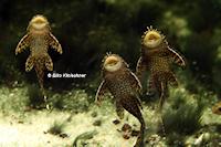 "Bild 3: Ancistrus sp. ""Honeycomb"""