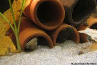 """Pic. 5: Ancistrus sp. """"Inambari Dwarf"""": beide Männchen, in unterschiedlichen Farbtönen"""
