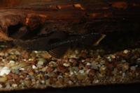 """Bild 2: Ancistrus cf. leucostictus """"L43"""""""