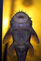 "foto 6: Ancistrus cf. ranunculus ""L255"""