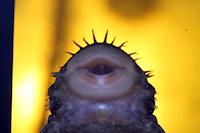 "foto 18: Ancistrus cf. ranunculus ""L255"""