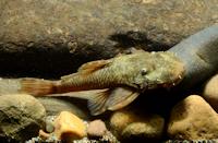 """Ancistrus sp. """"L 511"""" vom río Saucipata"""