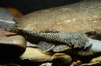 "Ancistrus sp. ""L 512"" von nahe río Saucipata"