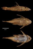 Bild 3: Ancistrus latifrons - Type