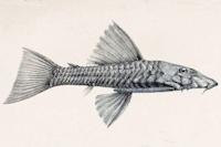 Bild 4: Ancistrus latifrons - Lateral
