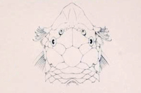 Bild 5: Ancistrus latifrons - Kopf