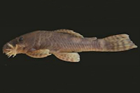 Ancistrus marcapatae, MUSM 57853, 54,6 mm SL, male; Peru, Manu, rio Madre de Dios drainage, rio Adanrayo
