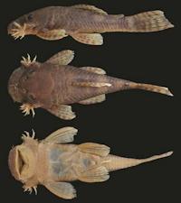 Bild 3: Ancistrus marcapatae - Type