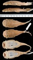 Bild 3: Ancistrus megalostomus