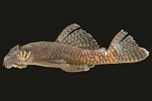 Ancistrus miracollis, INPA 57624, holotype, 66.7 mm SL, male; Brazil, Apuí, rio Sucunduri drainage, lower rio Madeira basin