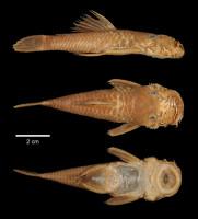 Bild 3: Ancistrus montanus