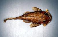 Ancistrus piriformis, Paratype, dorsal