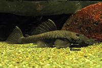 Bild 2: Ancistrus ranunculus (L34)
