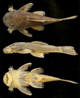 Bild 3: Ancistrus reisi, Holotype, male, 60.8 mm, córrego das Dores
