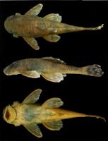 Bild 3: Ancistrus tobador, Holotype, male, 62.8 mm, igarapé Ribeirão Preto