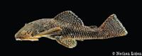 Andeancistrus eschwartzae