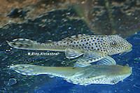 Bild 3: Aphanotorulus ammophilus (L123)
