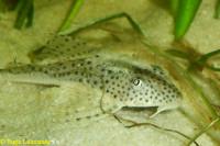 Bild 8: Aphanotorulus ammophilus (L123)