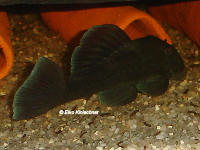 Pic. 6: Baryancistrus beggini (L239)