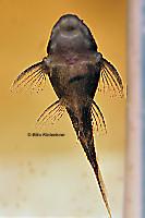 Pic. 13: Baryancistrus beggini (L239)